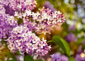 Blooming lilacs. — Stock Photo