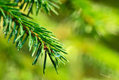 Coniferous twig with raindrops. — Stock Photo
