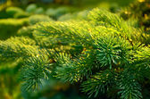 Branch of fir tree. — Stock Photo
