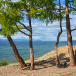 Larch on the sandy shore — Stock Photo