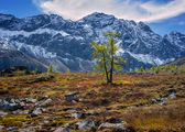 Lonely larch in mountains — Stock Photo
