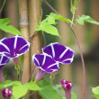 Purple morning glory - Stock Photo