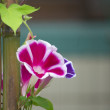 Pink morning glory - Stock Photo