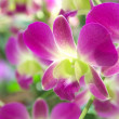 Purple and white orchid flowers - Stock Photo
