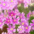 Cute pink primrose - Stock Photo