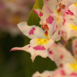 Stock Photo: Colorful dendrobium