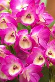 Vivid pink dendrobium — Stock Photo