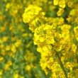 Vivid yellow field mustard flowers — Stock fotografie