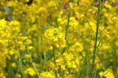 Vivid yellow field mustard flowers — Stock Photo