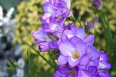 Purple freesia — Stock Photo