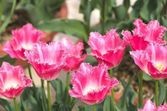 Jardim tulipa rosa vívido — Foto Stock