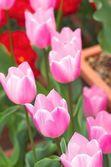Tulipe rose fleur jardin — Photo
