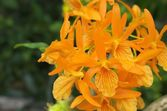 Vivid orange orchid — Stock Photo