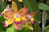 Yellow and purple orchid — Stock Photo