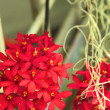 Stock Photo: Red orchid