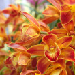 Stock Photo: Orange gradation orchid
