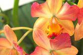 Orange gradation orchid — Stock Photo