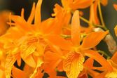 Vivid orange orchid flowers — Stock Photo