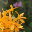 Stock Photo: Vivid orange orchid flowers