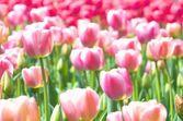 Vitt och rosa tulpan område — Stockfoto