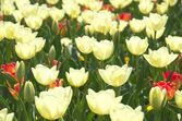 Campo de flores tulipa branca — Foto Stock