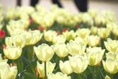 White tulip flower field — Stock Photo