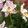 Stock Photo: White and pink orchid