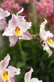 White and pink orchid — Stock Photo