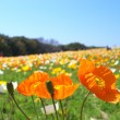 Colorful iceland poppy flowers — Stock Photo