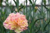 Yellow and pink carnation — Stock Photo