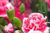 红色和白色康乃馨 — 图库照片
