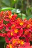 Vivid red orchid — Stock Photo