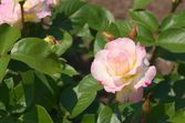 Bonita flor rosa rosa — Fotografia Stock