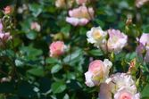 Cute pink rose flower — Stock Photo