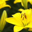 Vivid yellow lily flowers — стоковое фото #26177129