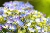 Brisk aqua hydrangea — Stock Photo