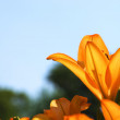 Energetic orange lily flower garden — Stock Photo