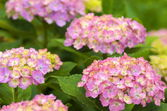 Pink and white hydrangea flowers — Stok fotoğraf