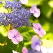 Purple and blue hydrangea — Stock Photo