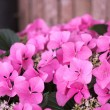 Stock Photo: Vivid pink hydrangeflowers