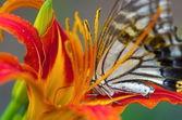 Butterfly on vivid orange flower — Stock Photo