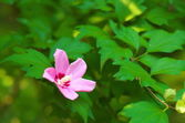 Pink rose of sharon — Stock Photo