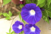 Cute blue morning glory — Stock Photo