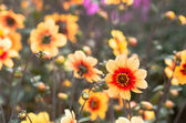 Red and orange dahlia flowers — Stock Photo