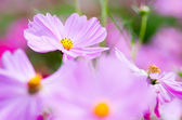 Cute pink cosmos flower — Stock Photo