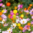 Vivid colorful cosmos flowers — Stock Photo