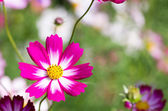 White and pink cosmos flower — Stock Photo