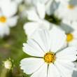 Brisk white cosmos flowers — Stockfoto