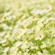 Stock Photo: Brisk yellow cosmos flowers