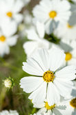 Brisk white cosmos flowers — Stock Photo